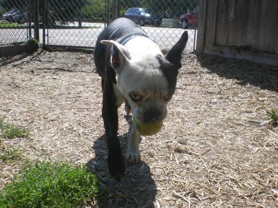 Ronald Boston Terrier mix 1