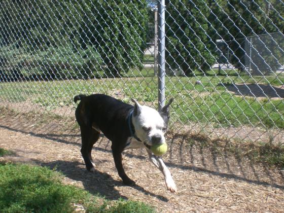 Ronald Boston Terrier mix 2