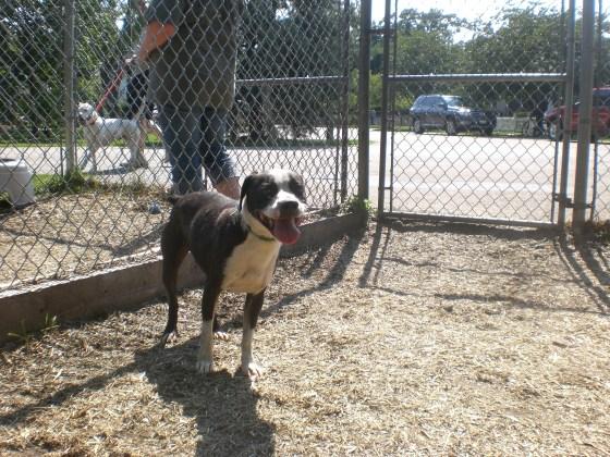 Cody Boston Terrier mix 2