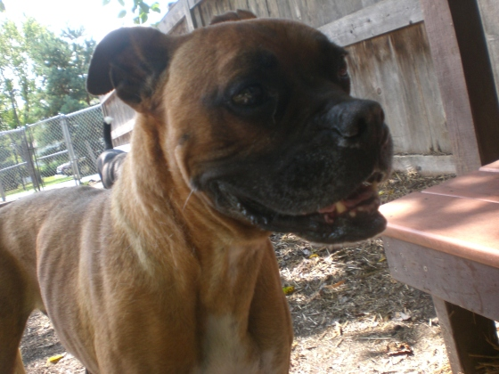 Harley Boxer mix 1