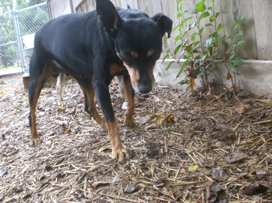 Gypsy Miniature Pinscher mix 2