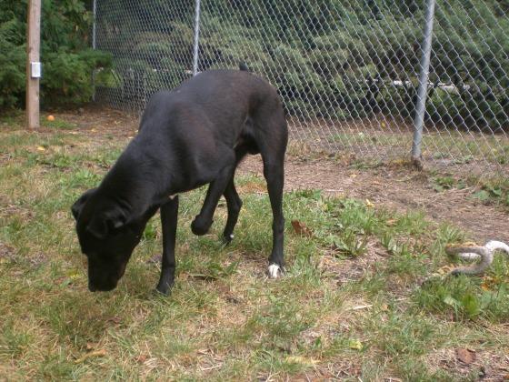 Magic Black Labrador Retriever mix 1