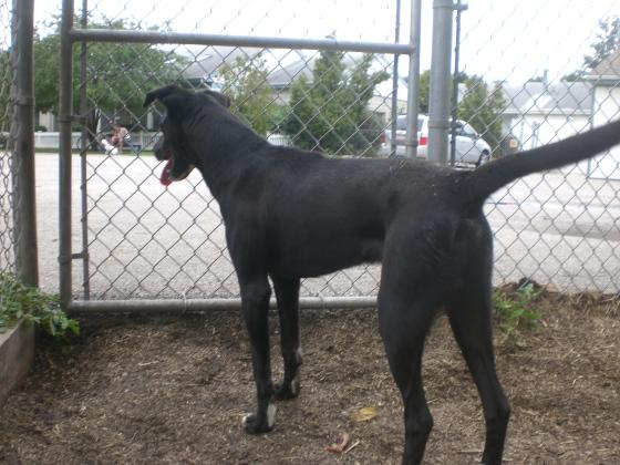 Magic Black Labrador Retriever mix 2