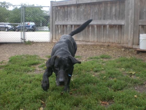 Brutus Labrador Retriever mix 1