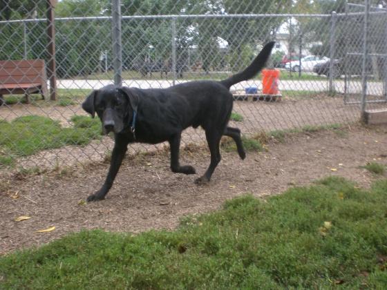 Brutus Labrador Retriever mix 2