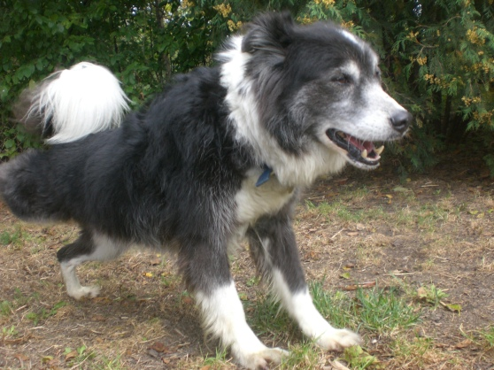 Lucky Border Collie mix 2
