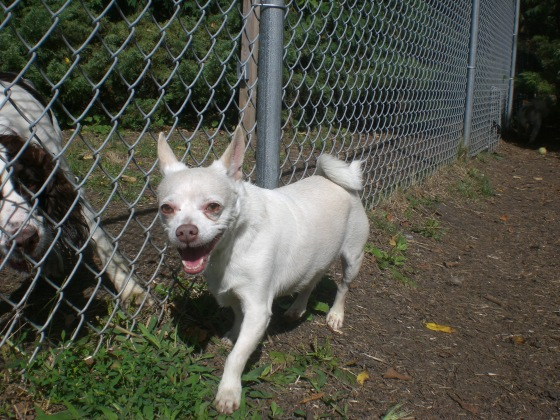 PeeWee Chihuahua mix 2