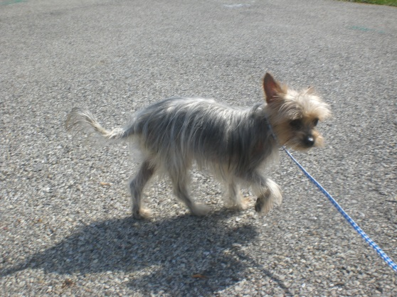 Silver Yorkshire Terrier mix 1