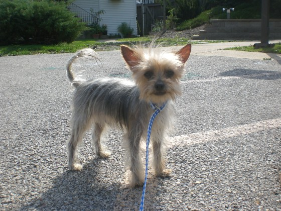 Silver Yorkshire Terrier mix 2