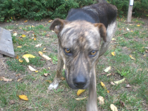 Mister Plott Hound mix 1