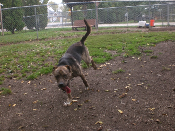 Mister Plott Hound mix 2