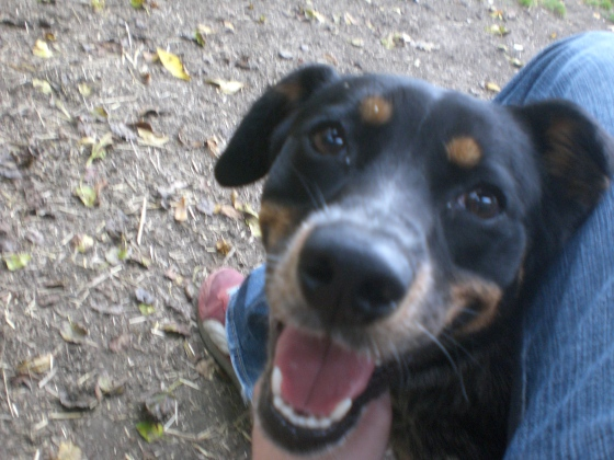 Rock-ola Australian Cattle Dog mix 2