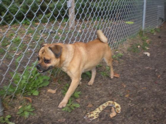 Frank Pug Beagle Puggle mix 2