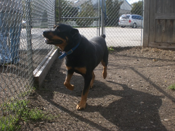 Toby Rottweiler mix 1
