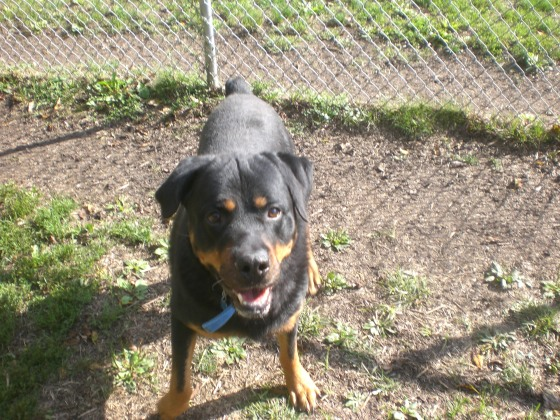 Toby Rottweilier mix 2