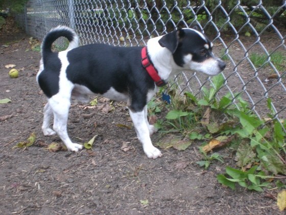 Gansito Chihuahua Beagle mix 1