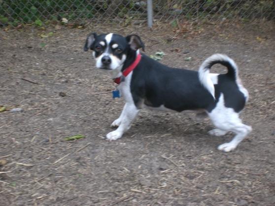 Gansito Chihuahua Beagle mix 2