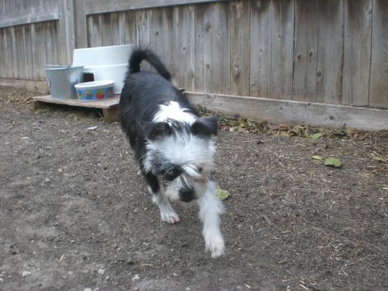 Xena Boston Terrier mix 2
