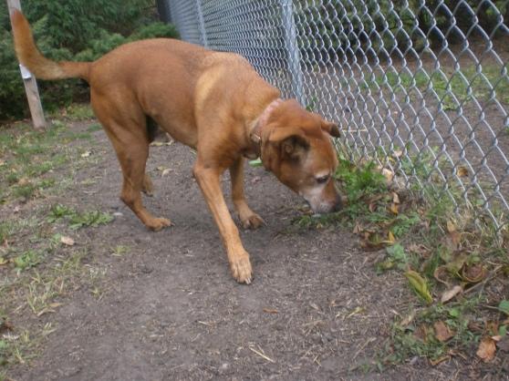 Rusty Labrador Retriever mix 1
