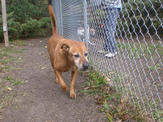 Rusty Labrador Retriever mix 2