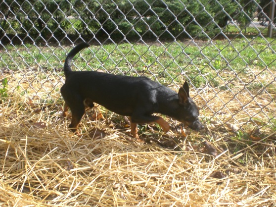 Nino Miniature Pinscher mix 1