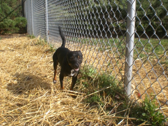 Nino Miniature Pinscher mix 2
