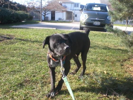 Oscar Black Labrador Retriever mix 1