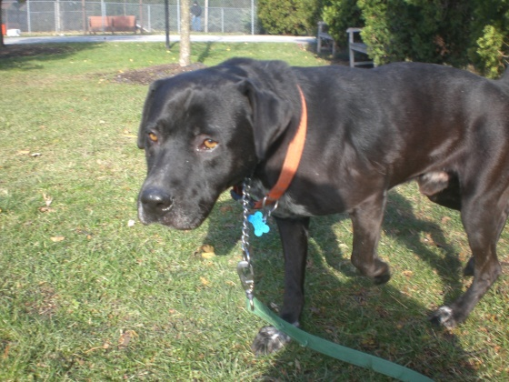 Oscar Black Labrador Retriever mix 2
