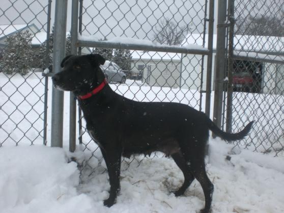 Shiloh Black Labrador Retriever mix 2