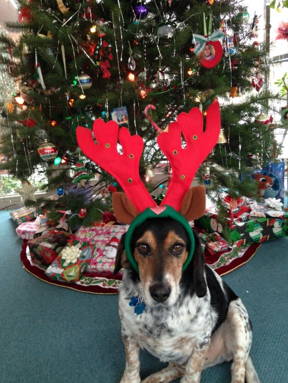 Cooper, our Orphans of the Storm® adoptee, celebrating his second Christmas with us.