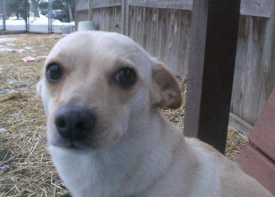 Lael Chihuahua Corgi mix 2