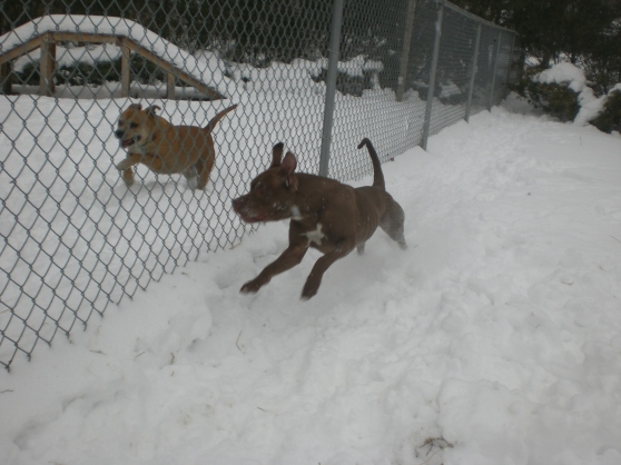 Nicki Pit Bull Terrier mix 1