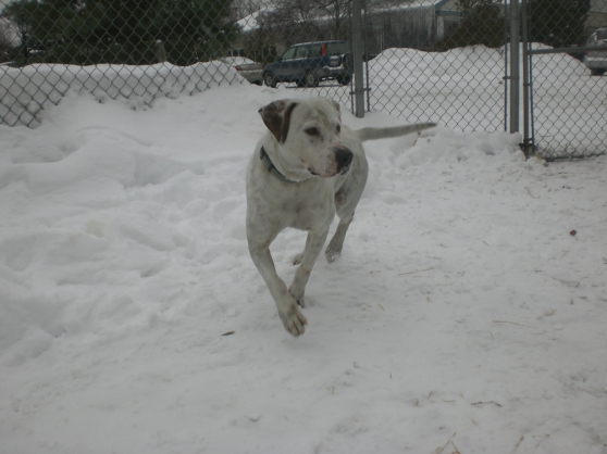 Hutch Labrador Retriever mix 1