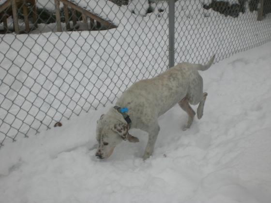 Hutch Labrador Retriever mix 2