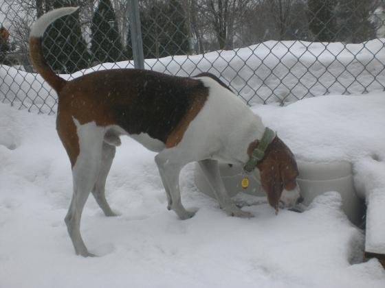 Ranger Treeing Walker Coonhound mix 1