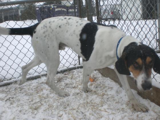 Ralphie Treeing Walker Coonhound mix 2