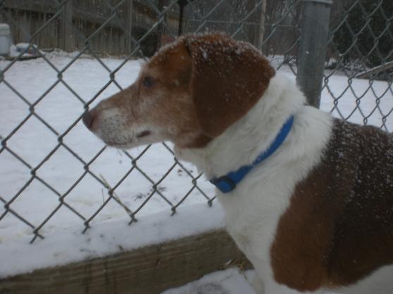 Buddy Senior Beagle mix 2