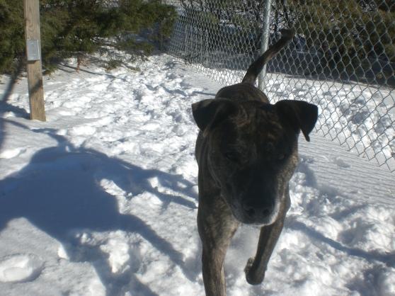 Duke Brindle Pit Bull Terrier mix 1