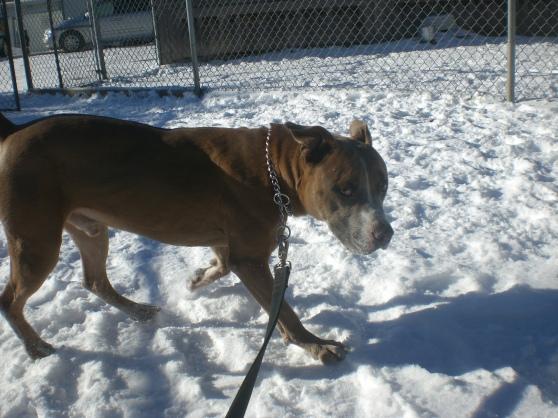 Zeus Pit Bull Terrier mix 1