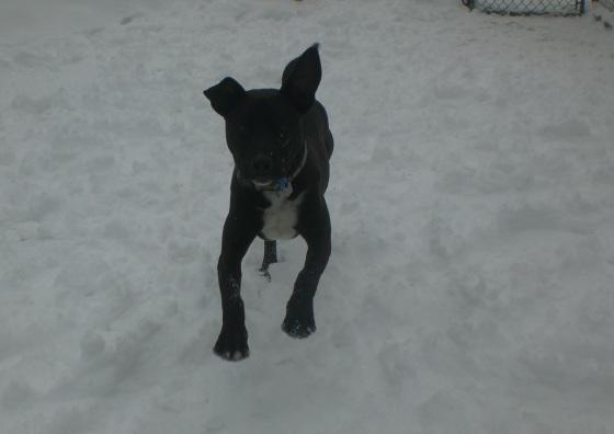 Duke Labrador Retriever mix puppy 1