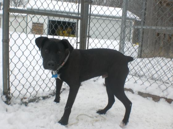 Duke Labrador Retriever mix puppy 2