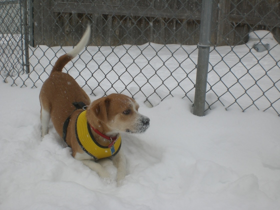 Babe Beagle mix 1