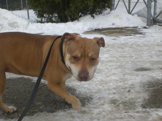 Dezzie Pit Bull Terrier mix 1