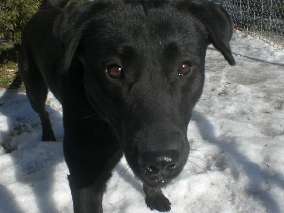 Saber Black Labrador Retriever mix 1