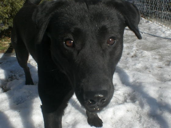 Saber Black Labrador Retriever mix 1