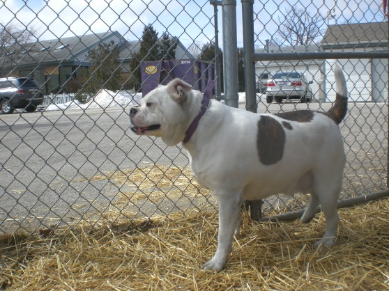Bella American Bulldog mix 1