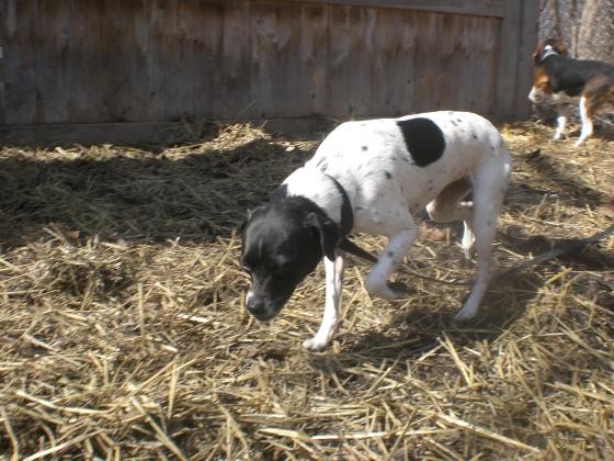 Kaylee Rat Terrier mix 2