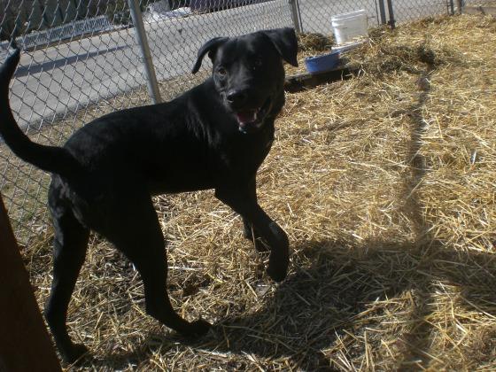 Buddy Black Labrador Retriever mix 1