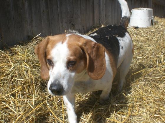 Barney Beagle mix 2