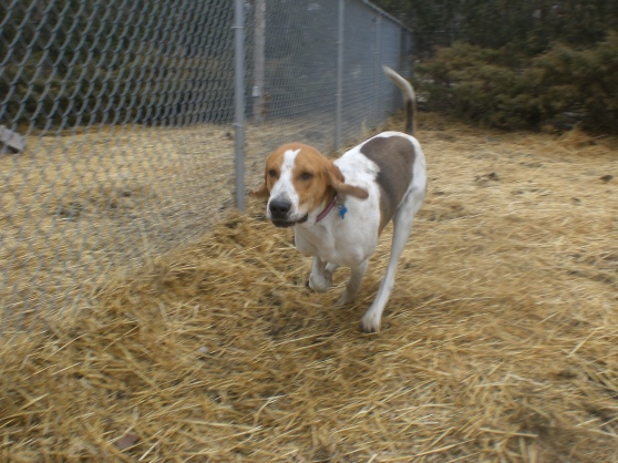 Jeff Treeing Walker Coonhound mix 1